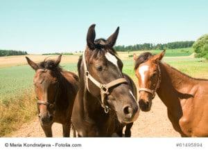 Drei Pferde die auf einem Weg stehen und Halfter tragen.