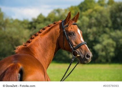 Ein Pferd mit Trense und Halfter steht vor einer grünen Wiese und einem Wald. Der Artikel dreht sich um die Trense.